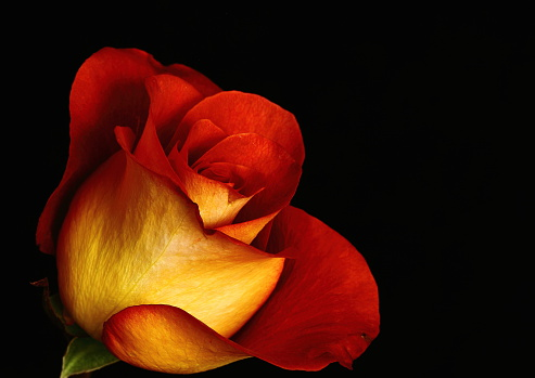 Close up side view of bright yellow and orange blooming rose