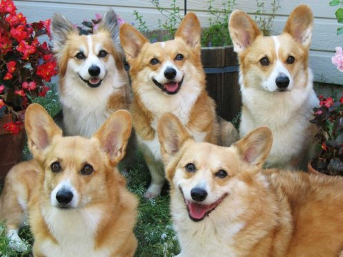 corgi-family-portrait-best-1.jpg